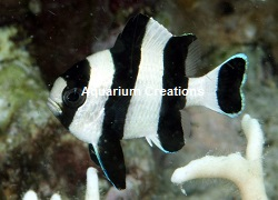 Picture of 3 Stripe Damselfish