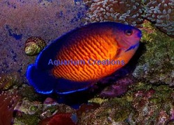 Picture of Coral Beauty Dwarf Angel