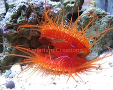 Picture of Electric Flame Scallop