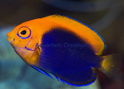 Picture of Dwarf Flameback Angelfish
