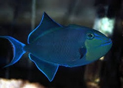 Picture of Niger Triggerfish, Odonus niger