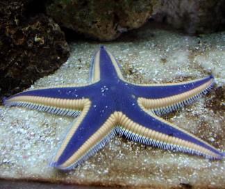 starfish saltwater star fish blue linckia orange sea
