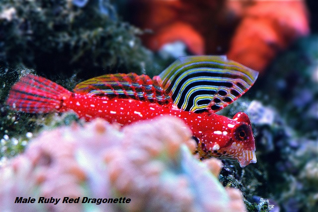 Saltwater fish for sale for marine aquariums aquarium for Red saltwater fish