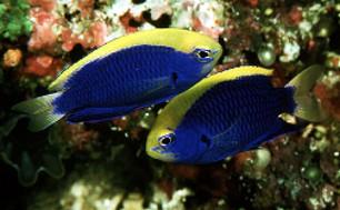 Marine aquarium damsels marine aquarium chromis for Fish representative species