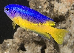 Picture of Golden Belly Damselfish