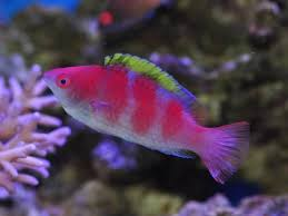 Reef safe wrasse fish cleaner wrasse and other reef safe for Fish representative species