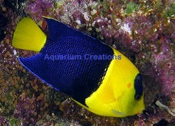 Picture of Bicolor Angelfish