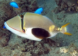 Picture of Bursa Triggerfish, Rhinecanthus verrucosus