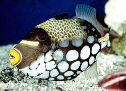 Picture of a Clown Triggerfish