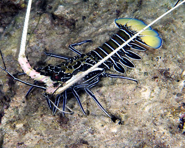 Blue Spiny Reef Lobster