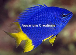 Picture of Yellow Tail Damselfish